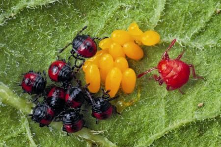 Клоп Перилллюс поедает яйца колорадского жука